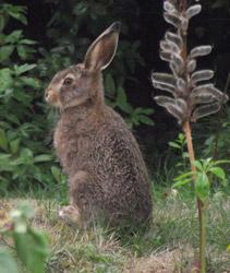 Shenval B&B garden hare