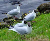 Mouettes rieuses, Moray Firth © Alain Vermeulen