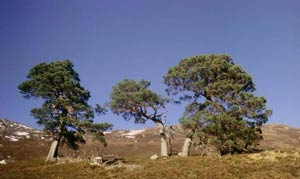Caledonian pines in Glen Affric National Nature Reserve, near Shenval B&B