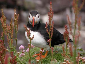 puffin Moray Firth Shenval B&B  © Thomas Neubert