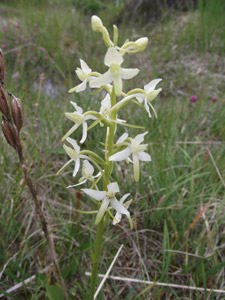 Greater Butterfly orchid, Glen Affric
