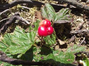 Plaquebière (rubus chamaemorus) Highlands d'Ecosse