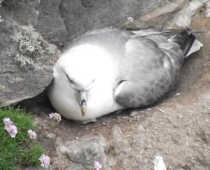 Nesting fulmar, Handa bird reserve
