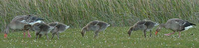 Greylag geese and goslings, near Handa island © Martine Dahl