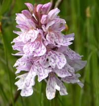Heath Spotted-orchid © Sabrina Schreiber
