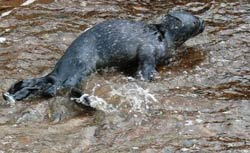 Seal pup Black Isle Inverness by Shenval B&B © Alain Vermeulen