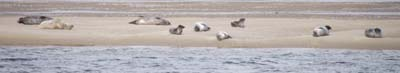 Basking seals, Loch Fleet nature reserve